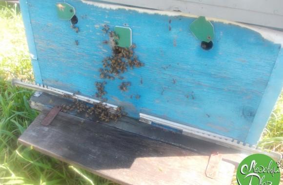 Пчёлы осваиваются